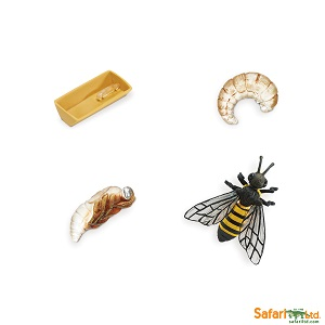 622716 Life Cycle of a Honey Bee_1