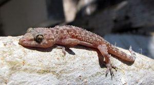 Gecko - Reptile