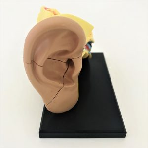 The Ear - Anatomy Model
