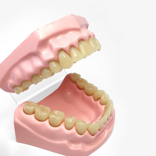 Teeth - Dental Model