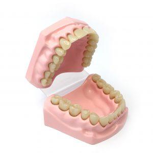 Teeth - a dental model