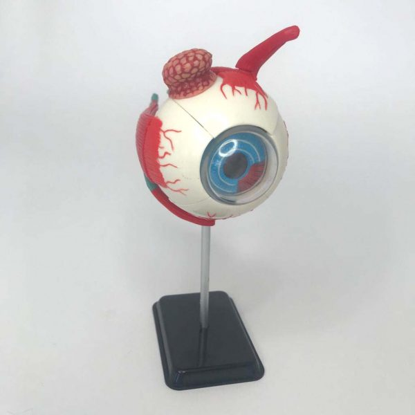 The Eye - part of the 4-in-1 Parts of the Human Anatomy.
