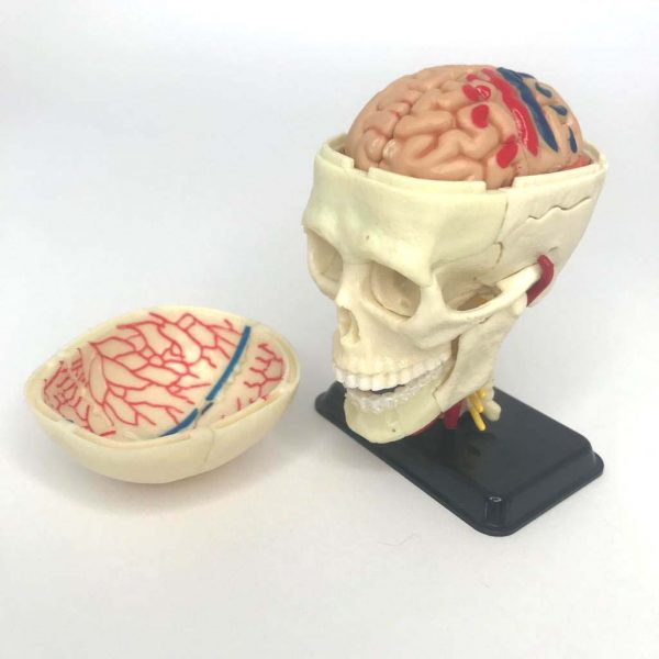 The Skull - part of the 4-in-1 Parts of the Human Anatomy.