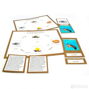 Life Cycle of a Turtle Activity
