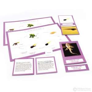 Life Cycle of a Frog Activity