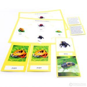 Life Cycle of Ladybird Activity