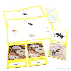 Life Cycle of an Ant Activity