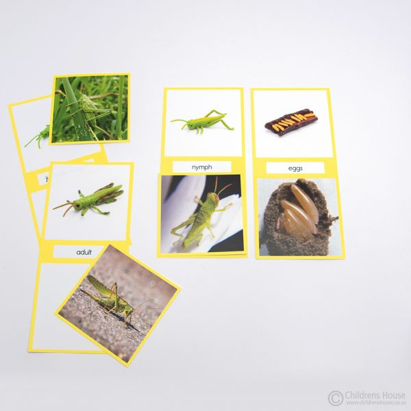 Life Cycle of a Grasshopper Activity