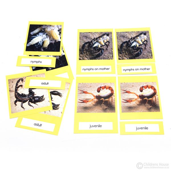 Life Cycle of a Scorpion Activity
